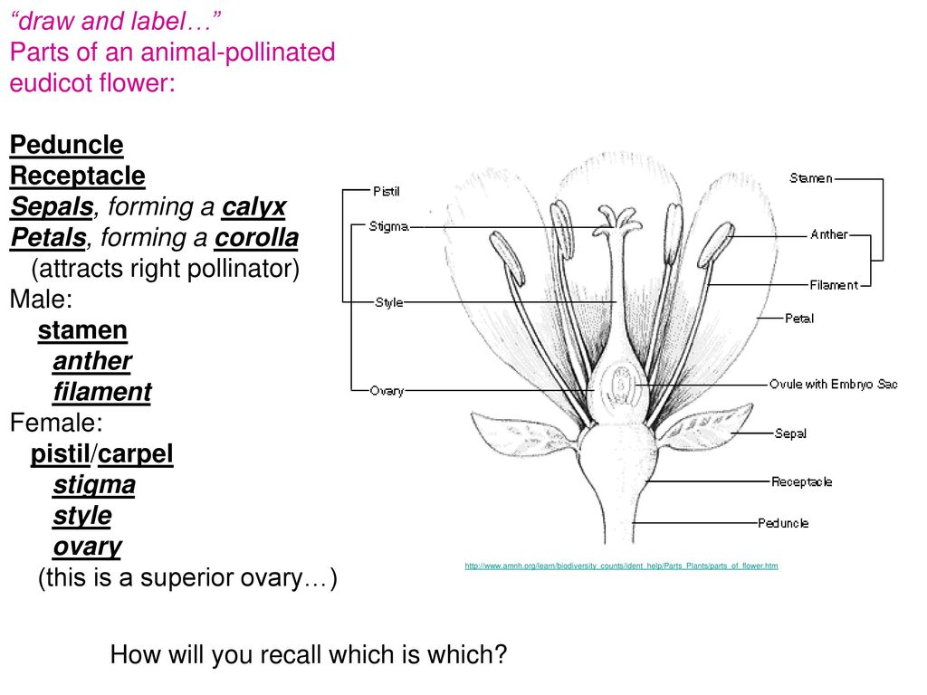 hight resolution of parts of an animal pollinated eudicot flower peduncle receptacle