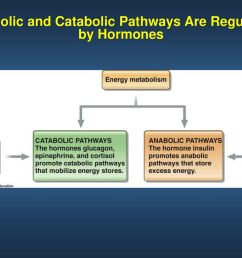 anabolic and catabolic pathways are regulated by hormones [ 1024 x 768 Pixel ]