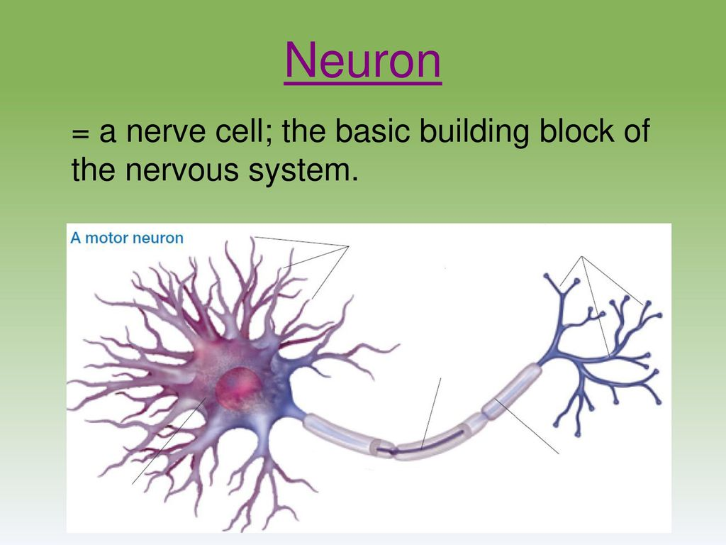 hight resolution of myers psychology for ap 2e ppt download rh slideplayer com neuron diagram labeled organs of nervous system diagram