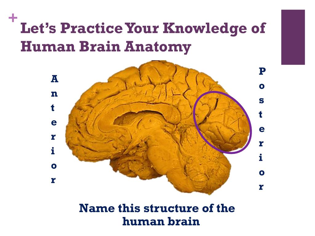 hight resolution of let s practice your knowledge of human brain anatomy