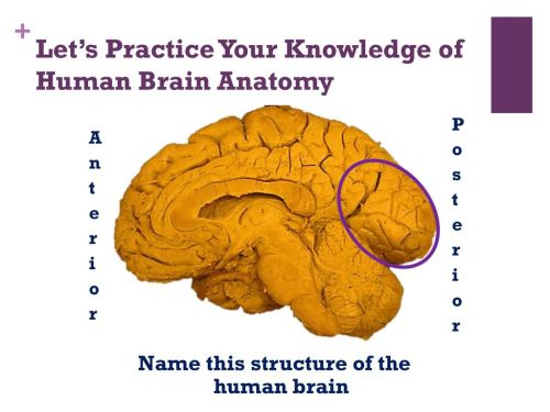 small resolution of let s practice your knowledge of human brain anatomy