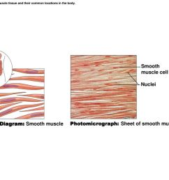 c diagram smooth muscle [ 1024 x 768 Pixel ]