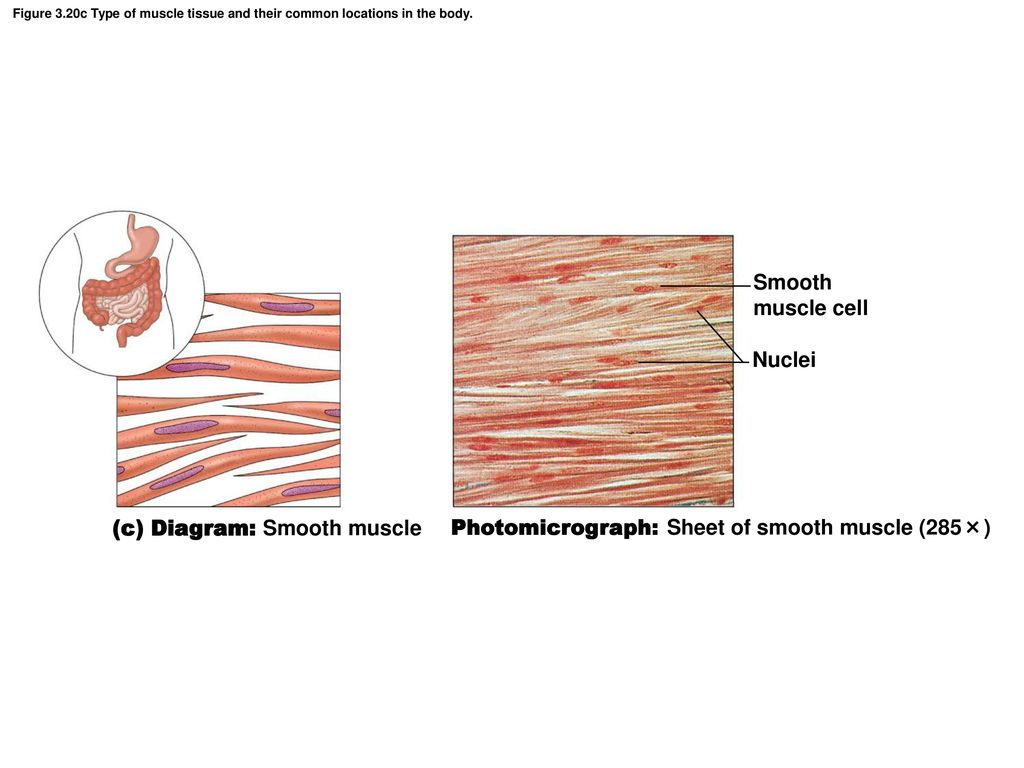 hight resolution of  c diagram smooth muscle