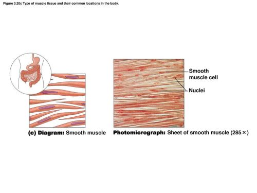 small resolution of  c diagram smooth muscle