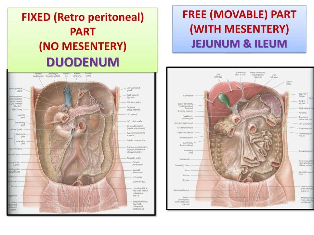 medium resolution of fixed retro peritoneal part