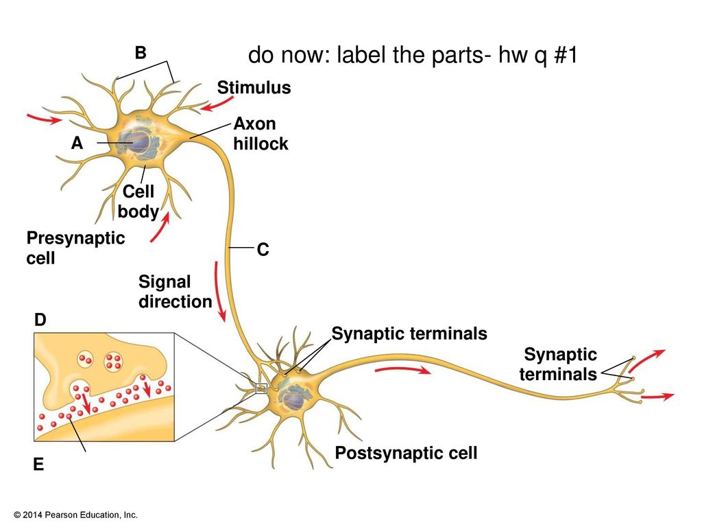 synapse diagram label 1994 dodge dakota wiring neurons synapses and signaling ppt download do now the parts hw q 1