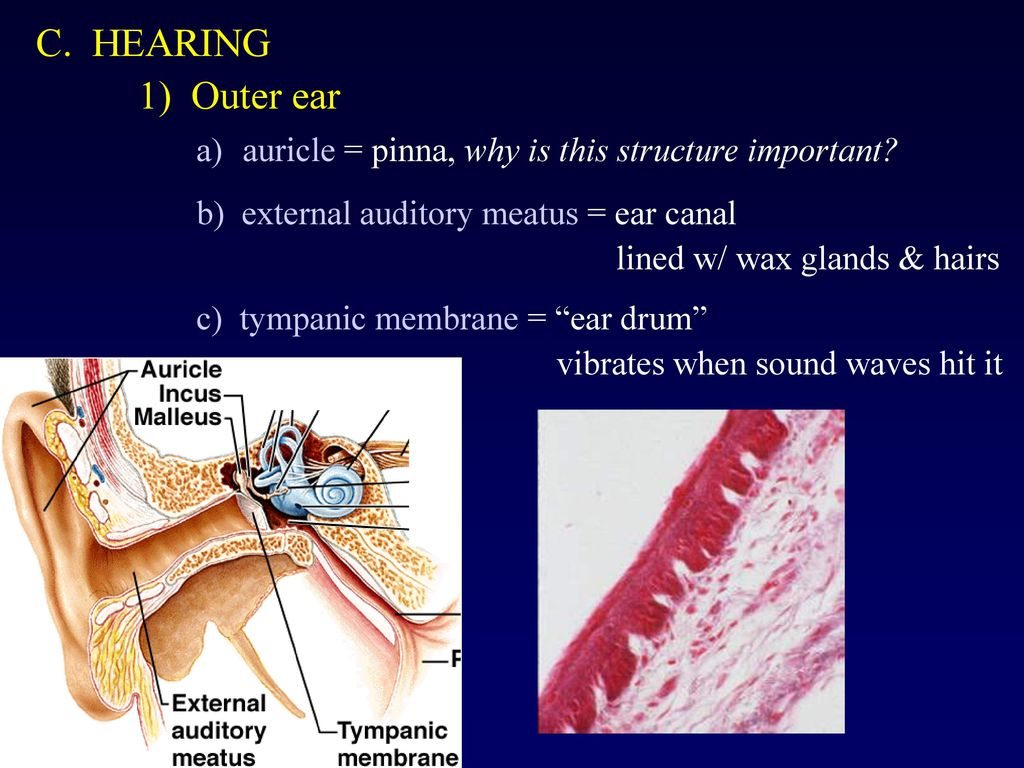 hight resolution of a auricle pinna why is this structure important