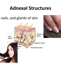 18 adnexal structures hair nails and glands of skin [ 1024 x 768 Pixel ]