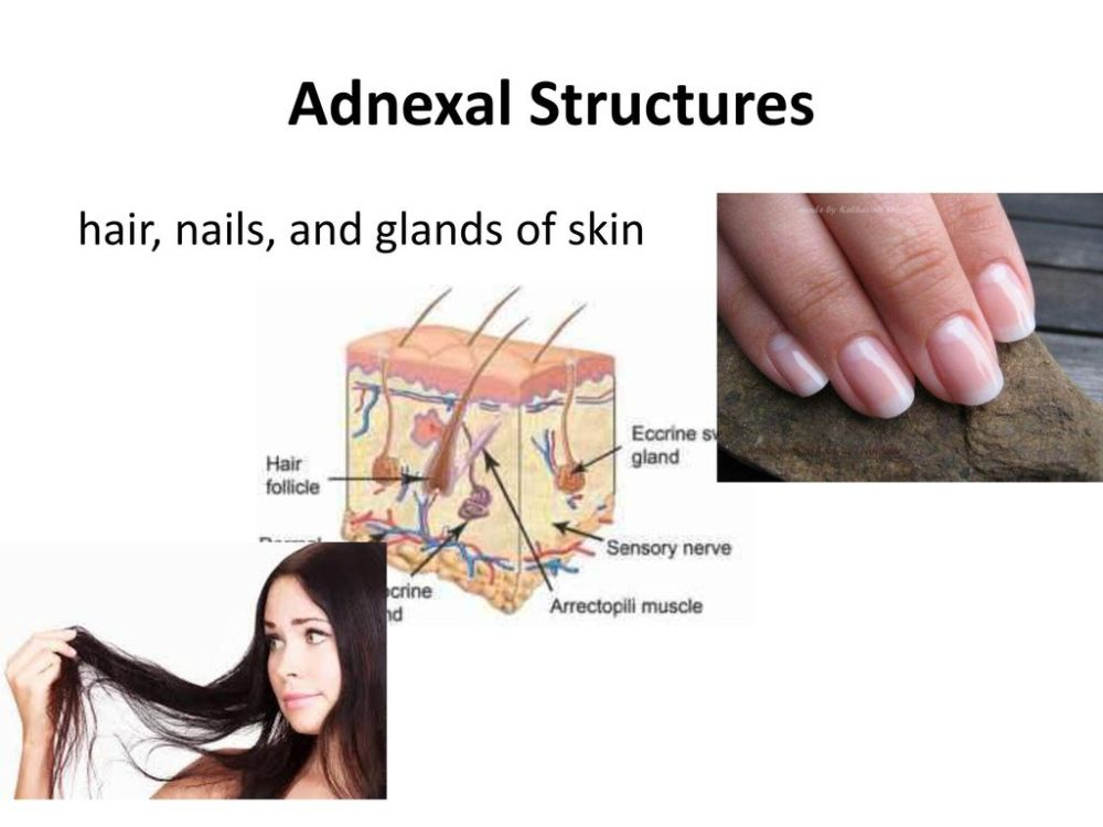 medium resolution of 18 adnexal structures hair nails and glands of skin