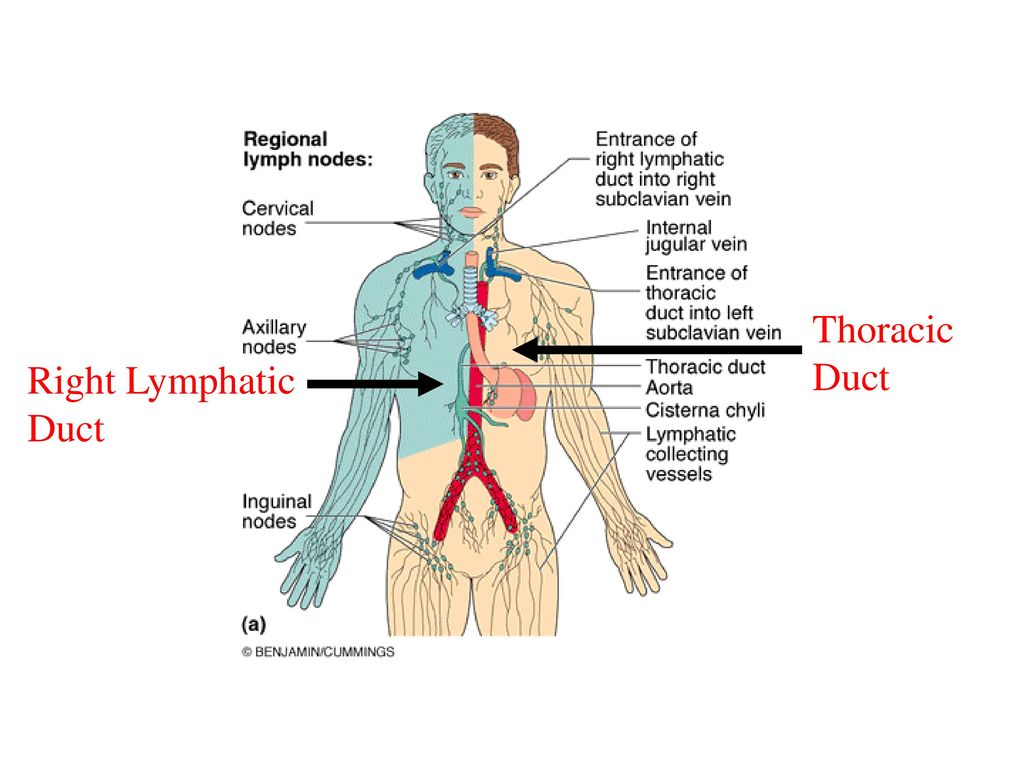hight resolution of 5 thoracic duct