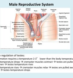 5 male reproductive system [ 1024 x 768 Pixel ]