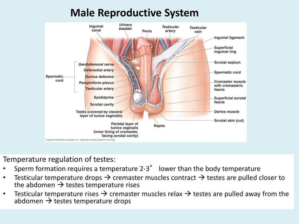 medium resolution of 5 male reproductive system
