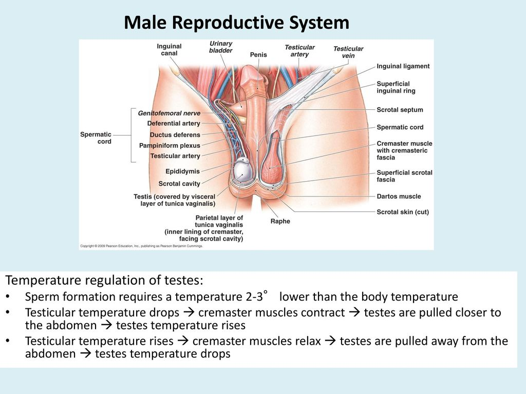 hight resolution of 5 male reproductive system