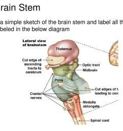 38 the brain stem  [ 1024 x 768 Pixel ]