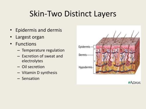 small resolution of 10 skin two distinct layers