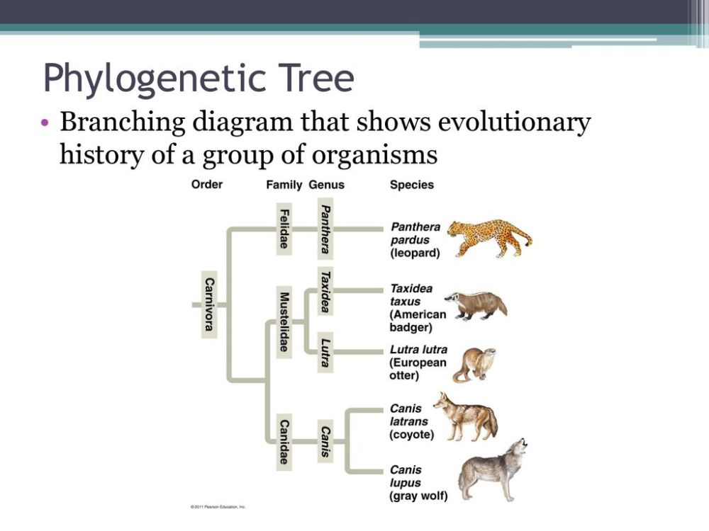medium resolution of 6 phylogenetic tree branching diagram that shows evolutionary history of a group of organisms