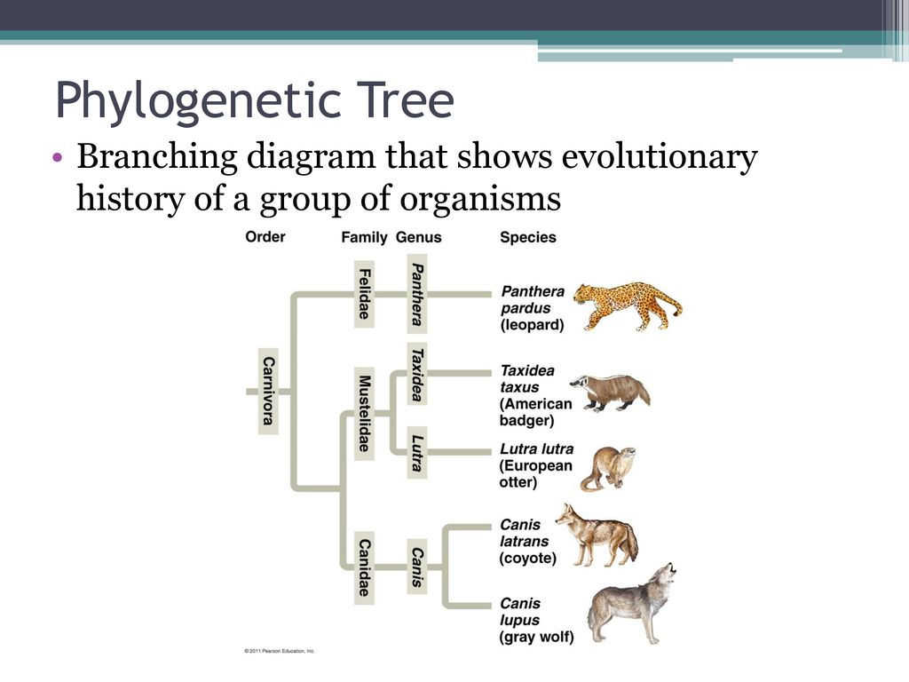 hight resolution of 6 phylogenetic tree branching diagram that shows evolutionary history of a group of organisms