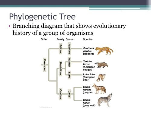 small resolution of 6 phylogenetic tree branching diagram that shows evolutionary history of a group of organisms