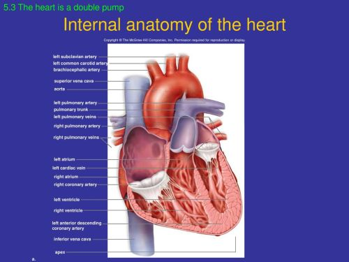 small resolution of internal anatomy of the heart