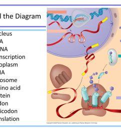 label the diagram nucleus dna mrna transcription cytoplasm trna [ 1024 x 768 Pixel ]