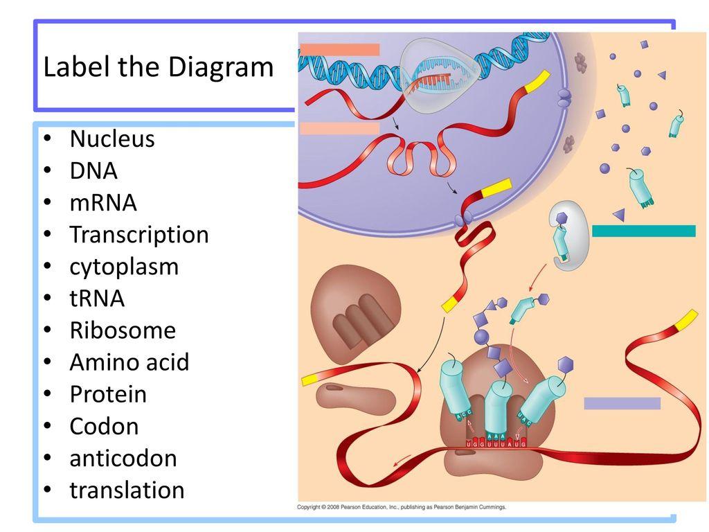 hight resolution of label the diagram nucleus dna mrna transcription cytoplasm trna