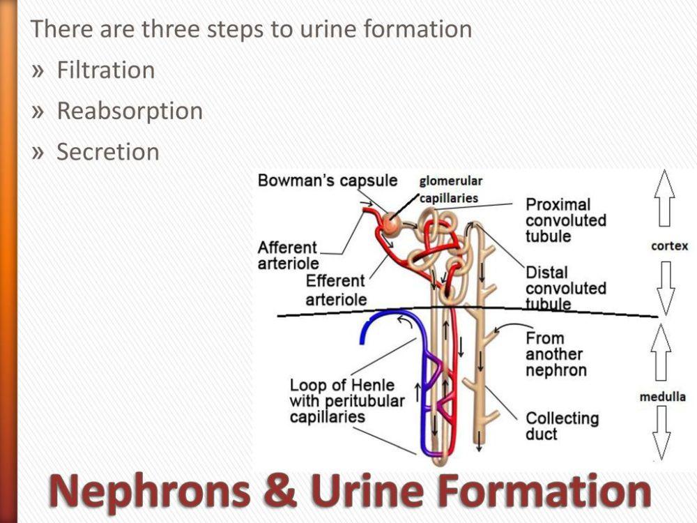 medium resolution of nephrons urine formation