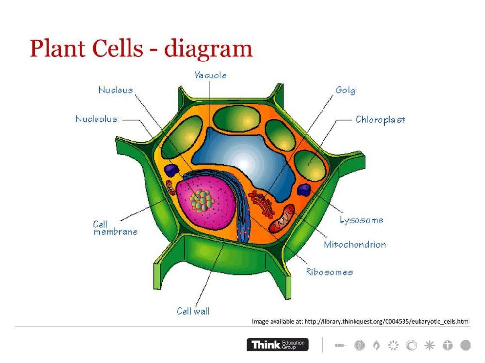 medium resolution of plant cells diagram work through worksheet complete concept test
