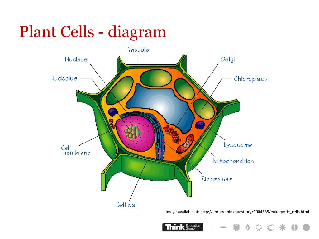 hight resolution of plant cells diagram work through worksheet complete concept test