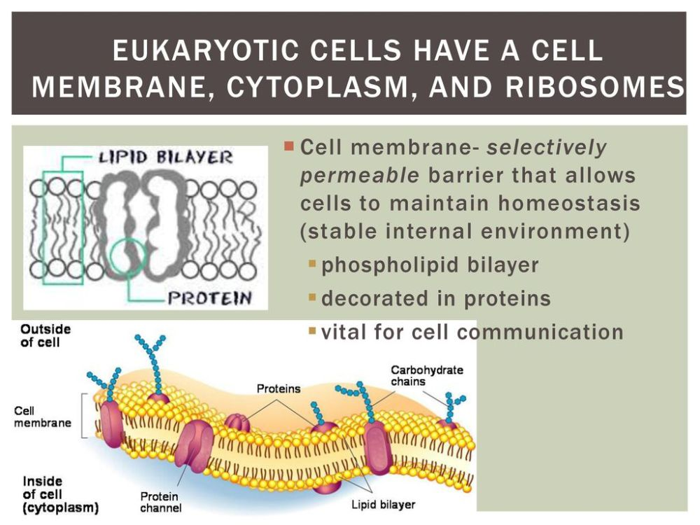 medium resolution of eukaryotic cells have a cell membrane cytoplasm and ribosomes