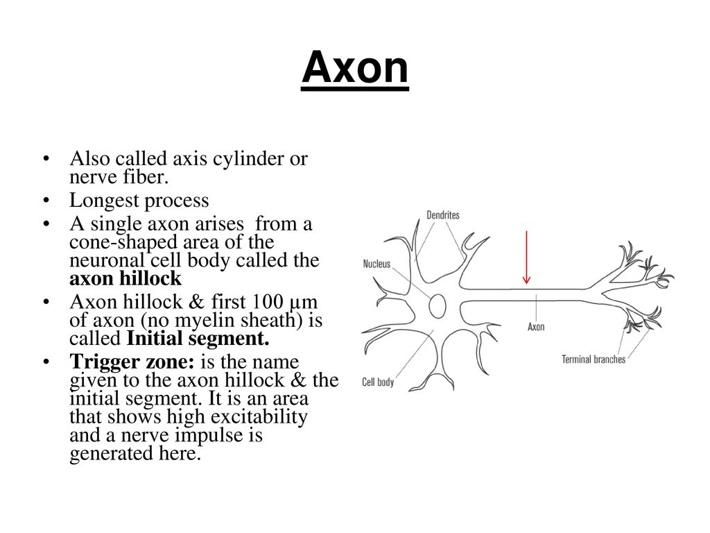 hight resolution of axon also called axis cylinder or nerve fiber longest process