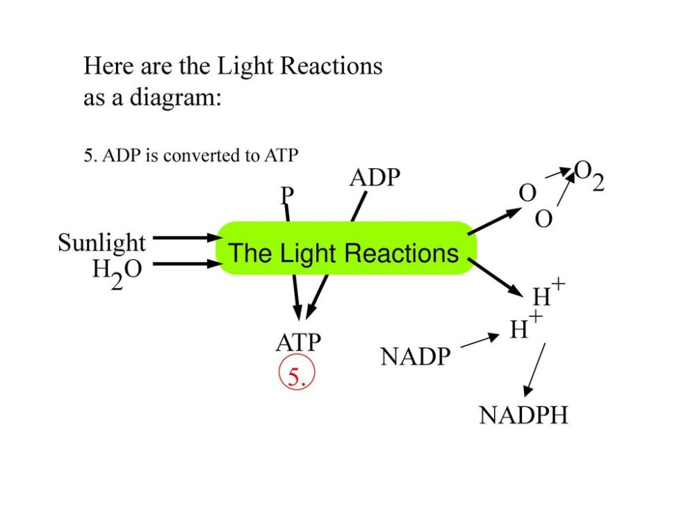 medium resolution of here are the light reactions as a diagram