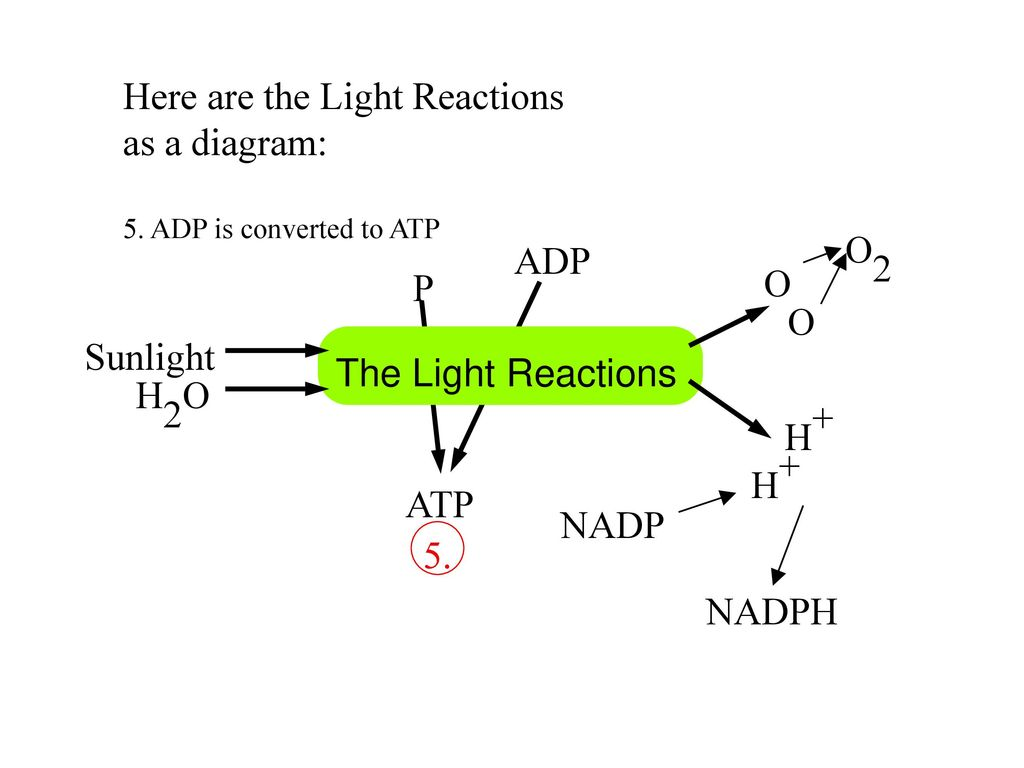 hight resolution of here are the light reactions as a diagram