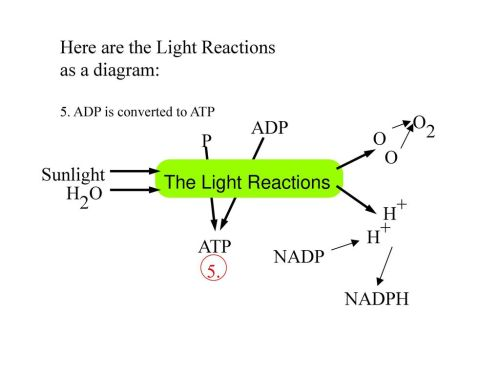 small resolution of here are the light reactions as a diagram