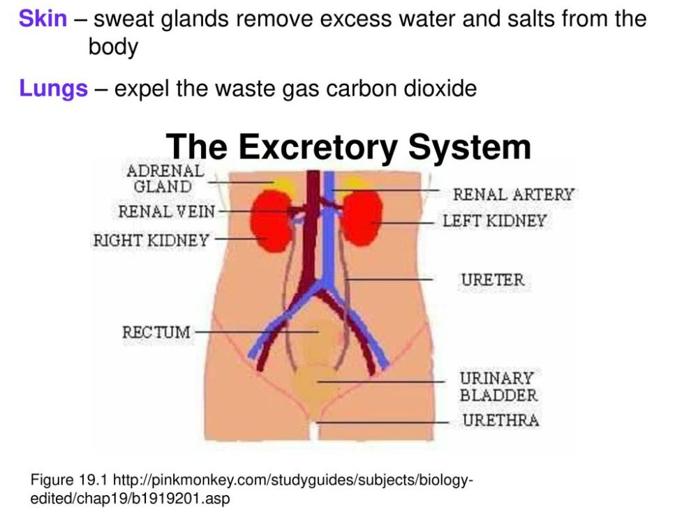 medium resolution of skin sweat glands remove excess water and salts from the body