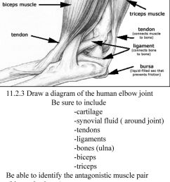 draw a diagram of the human elbow joint [ 1024 x 1365 Pixel ]