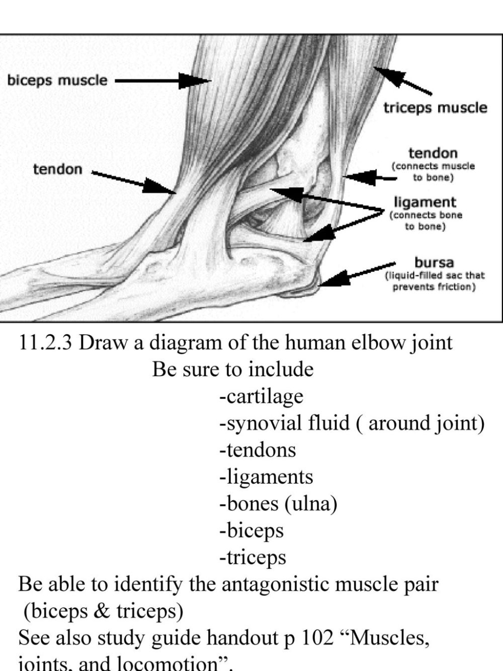 medium resolution of draw a diagram of the human elbow joint