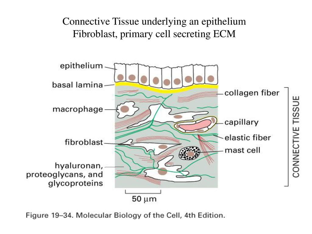 hight resolution of extracellular matrix 5 connective