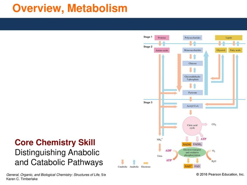 medium resolution of 8 overview metabolism core chemistry skill distinguishing anabolic and catabolic pathways