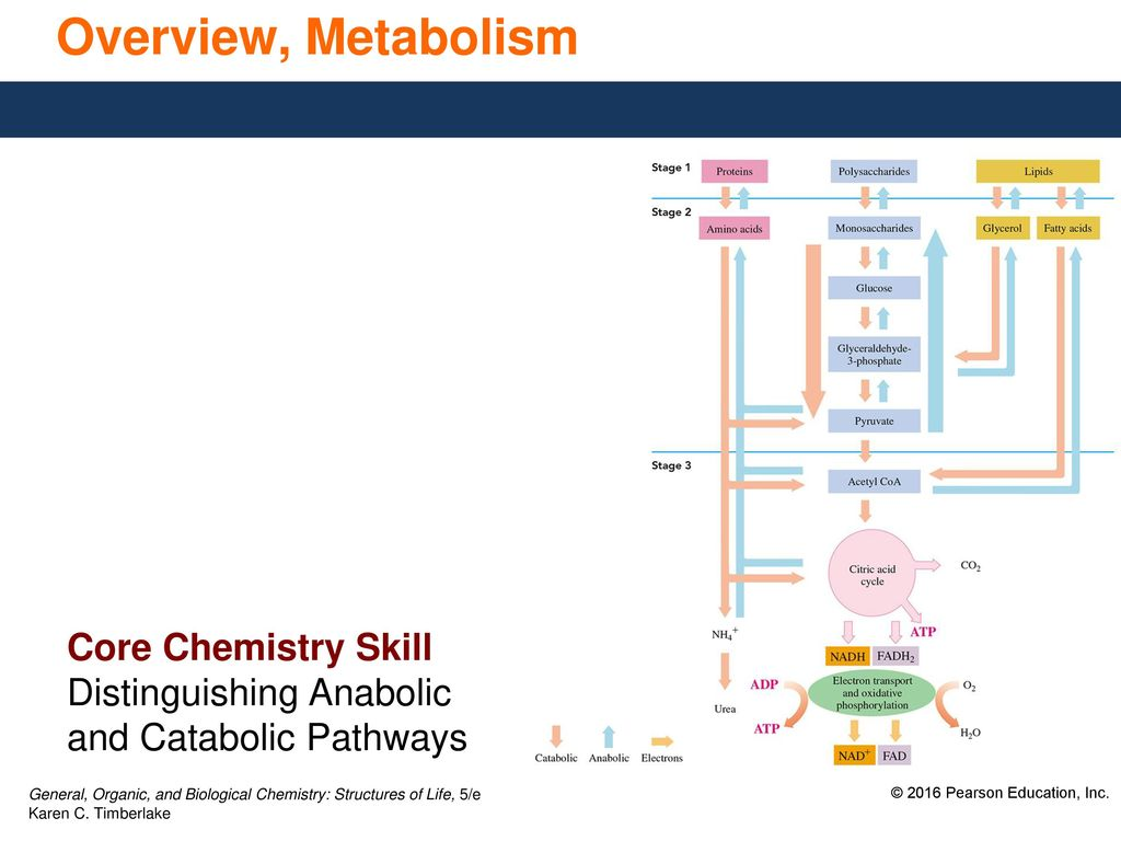 hight resolution of 8 overview metabolism core chemistry skill distinguishing anabolic and catabolic pathways