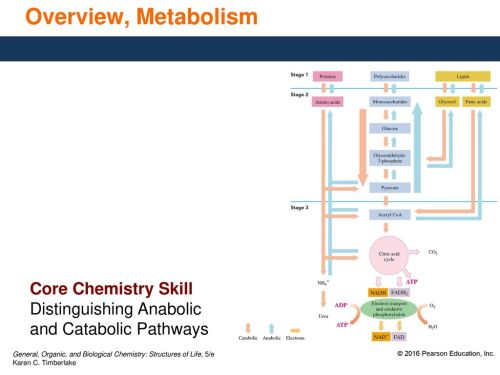 small resolution of 8 overview metabolism core chemistry skill distinguishing anabolic and catabolic pathways