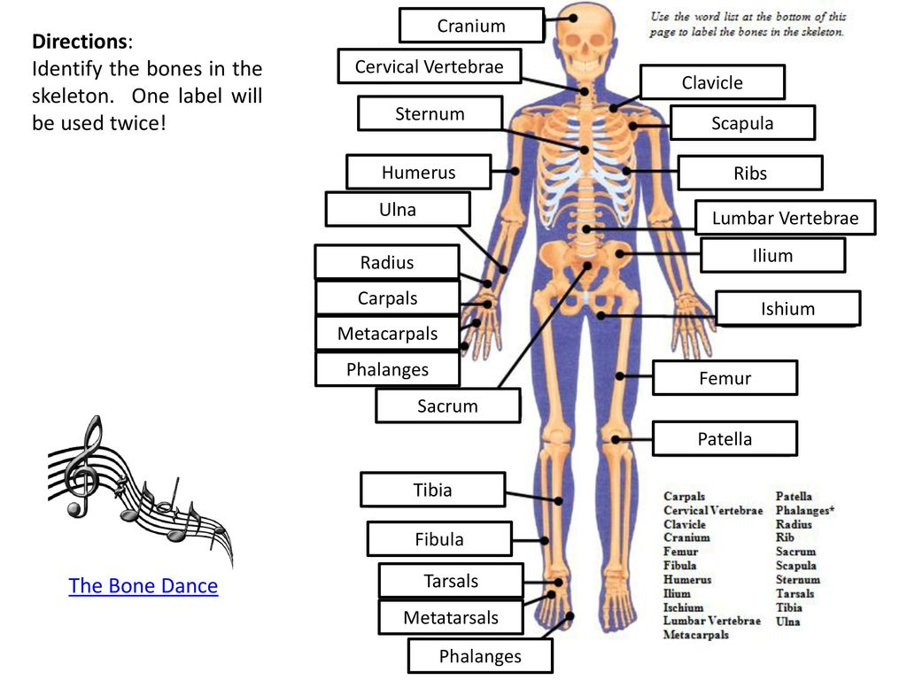 hight resolution of identify the bones in the skeleton one label will be used twice