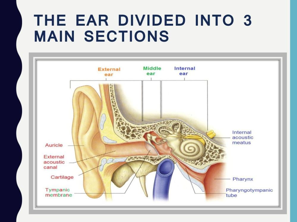 medium resolution of ear anatomy and physiology 2 the