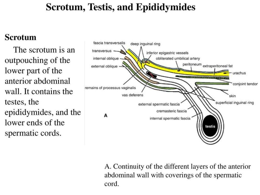 medium resolution of 25 scrotum