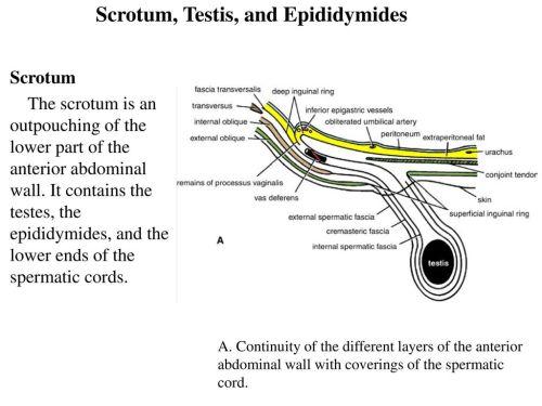 small resolution of 25 scrotum