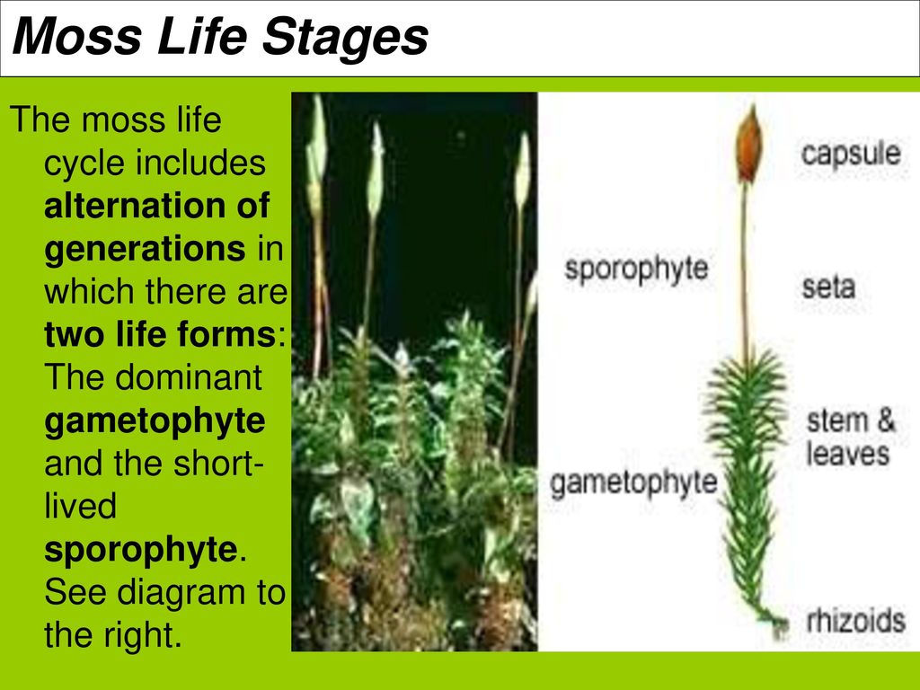 hight resolution of moss life stages