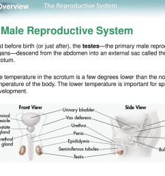 12 the male reproductive system [ 1024 x 768 Pixel ]