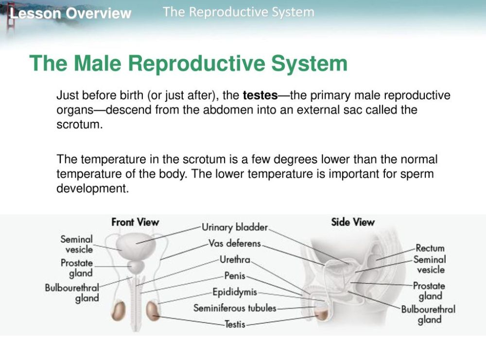 medium resolution of 12 the male reproductive system