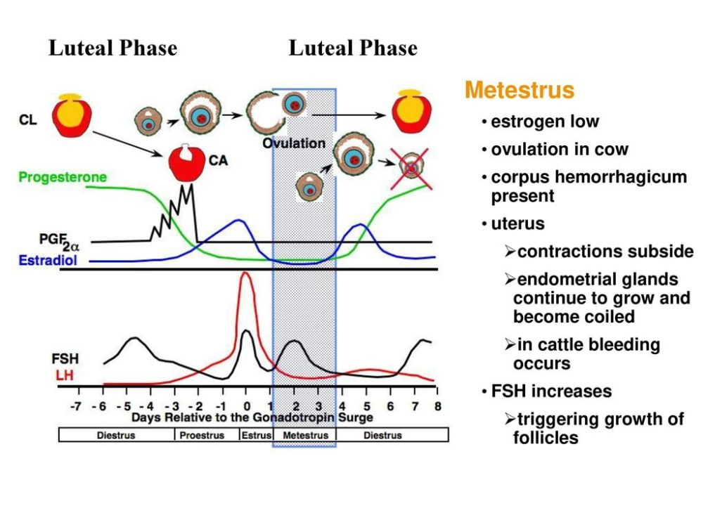 medium resolution of luteal phase luteal phase metestrus estrogen low ovulation in cow