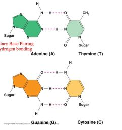 complementary base pairing showing hydrogen bonding [ 1024 x 768 Pixel ]