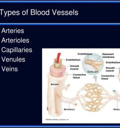 3 types of blood vessels arteries arterioles capillaries venules veins [ 1024 x 768 Pixel ]